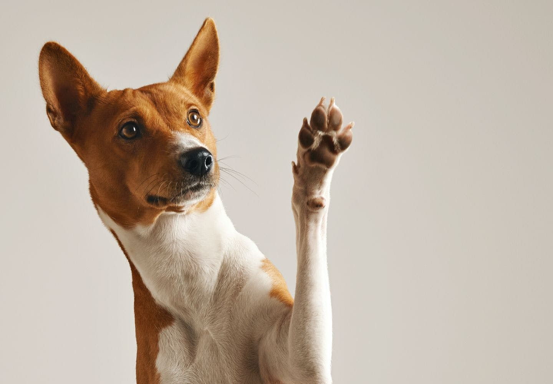 犬が前足で「ちょいちょい」してくる理由は?行動の裏にある心理を解説!【獣医師監修】
