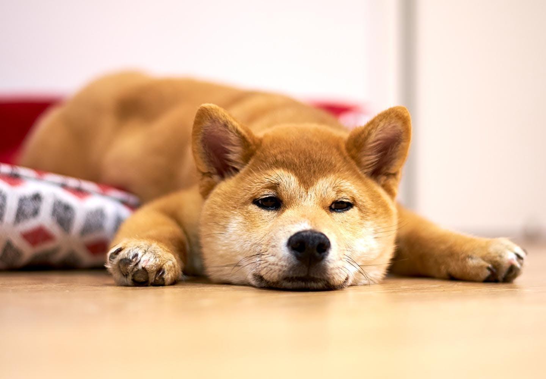 柴犬の平均寿命は何歳?_ふせする犬
