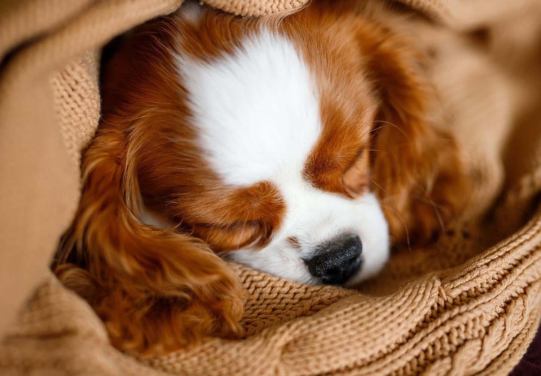 犬の尿路結石とは?原因と対処法、普段の生活での注意点などを解説【獣医師監修】
