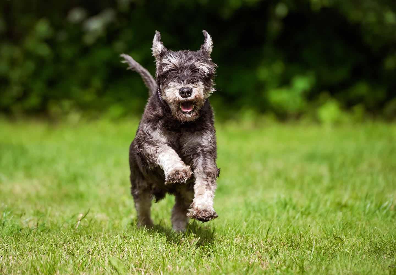 ミニチュア・シュナウザーの平均寿命は何歳?_走る犬