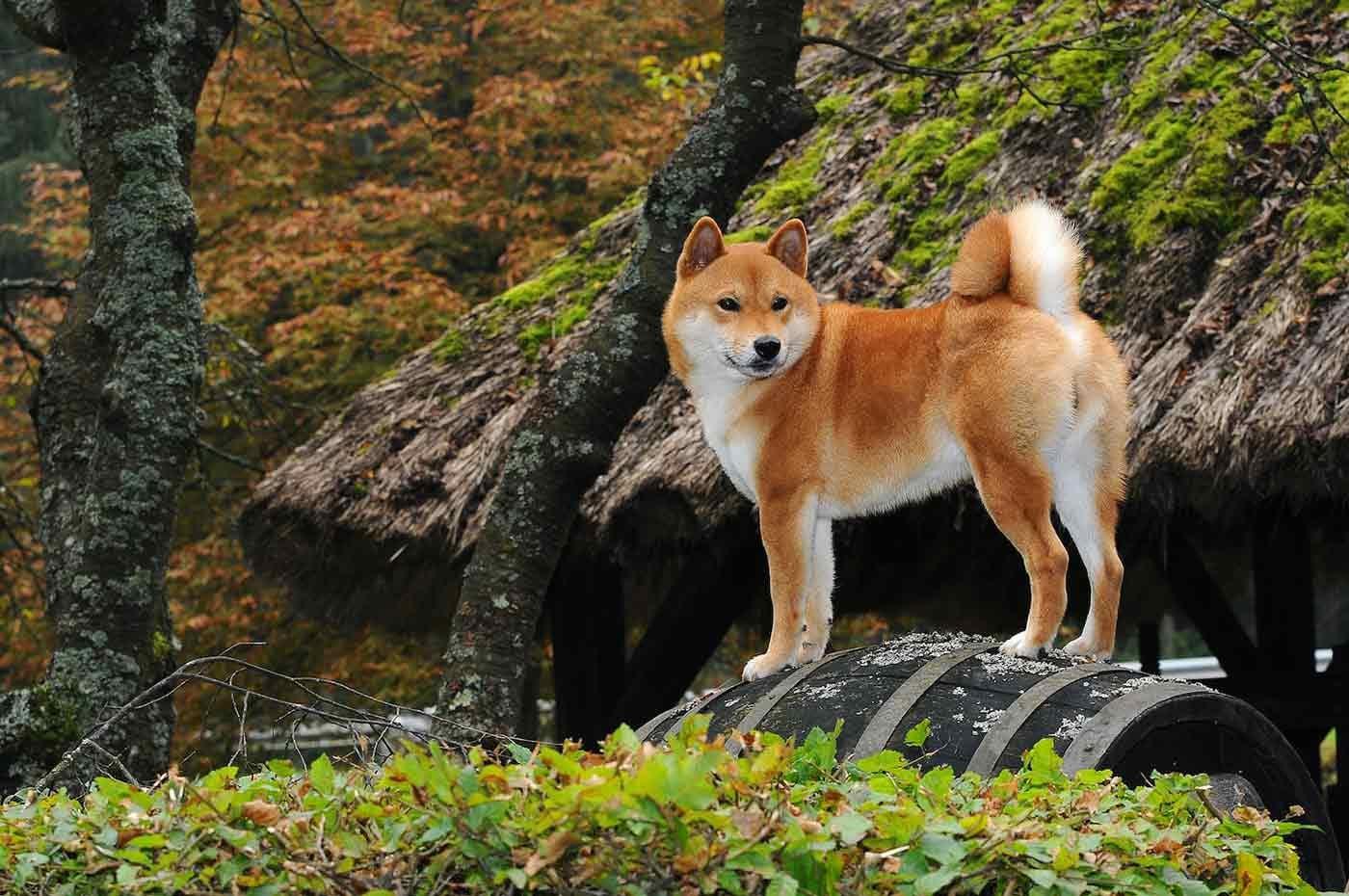 【協力いただける方を大募集】和犬の飼い主さんへのアンケート調査