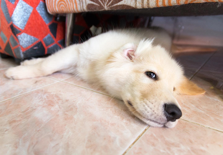 犬に氷を与える際の正しい方法は?_ぐったりする犬