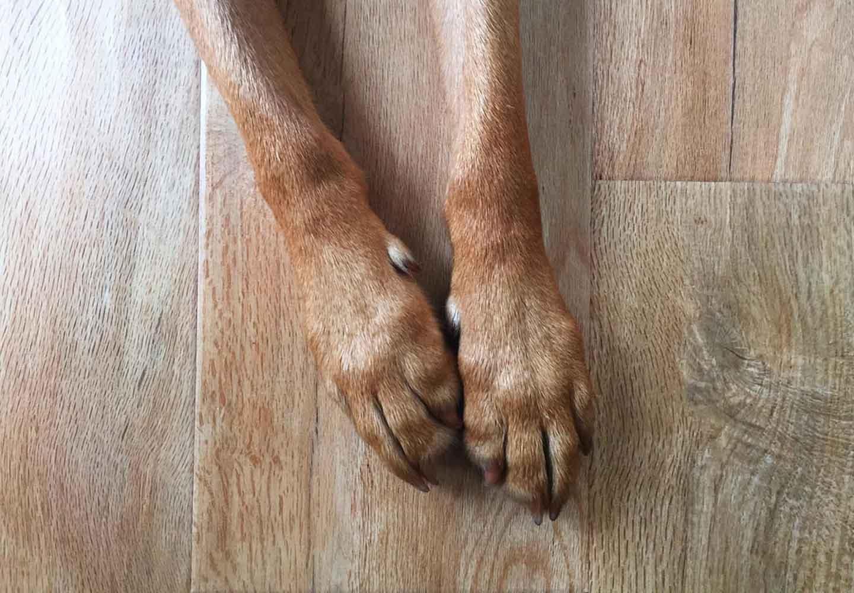 犬の指間炎はどんな病気?症状や原因、治療法について解説【獣医師監修】