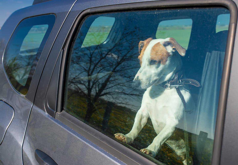 車の中の犬