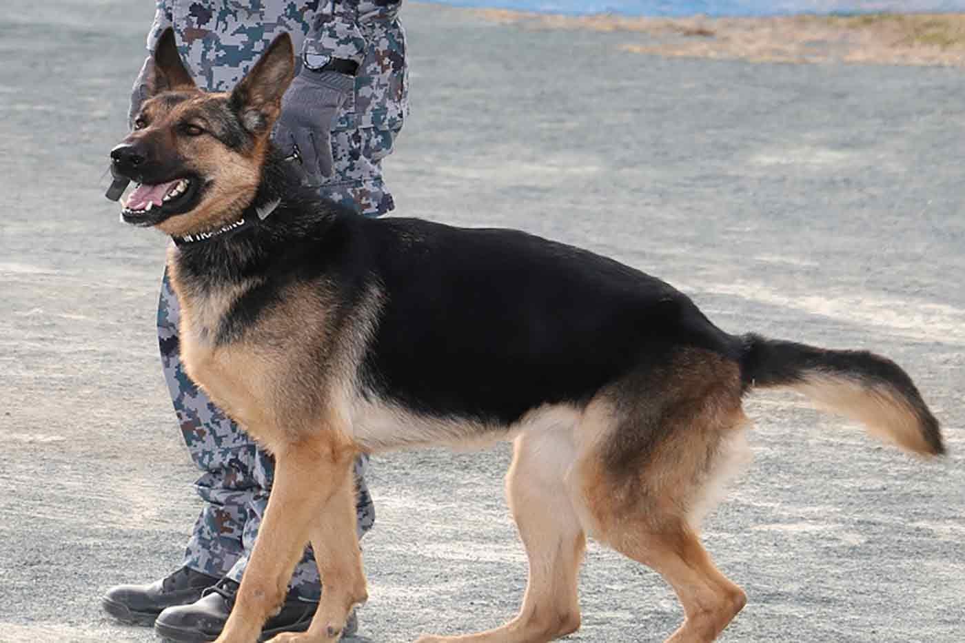 派遣された災害救助犬アナ
