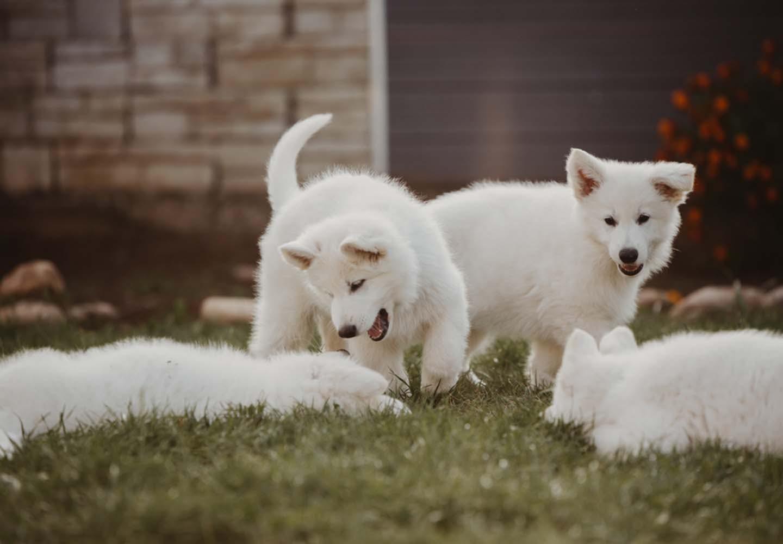 子犬同士で遊ぶ