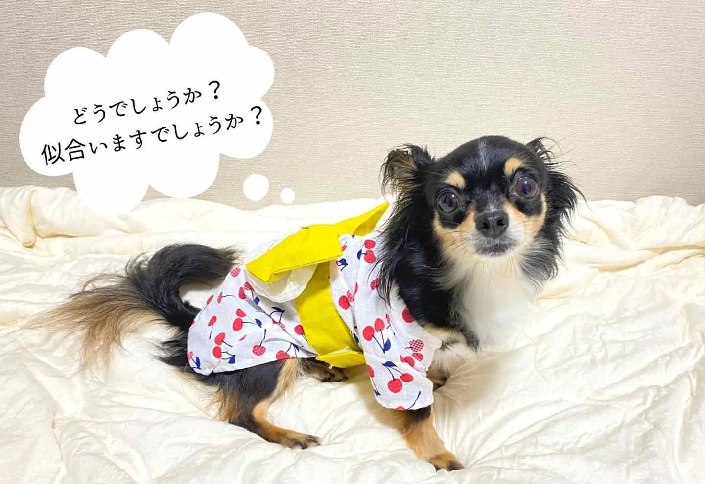 超簡単な愛犬用の浴衣の作り方 チワワ着画