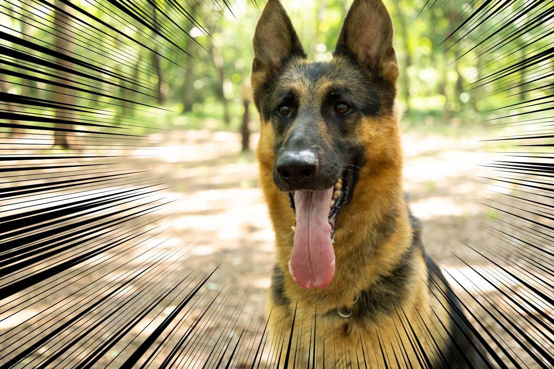 よだれを垂らしているジャーマン・シェパードの警察犬パクくん