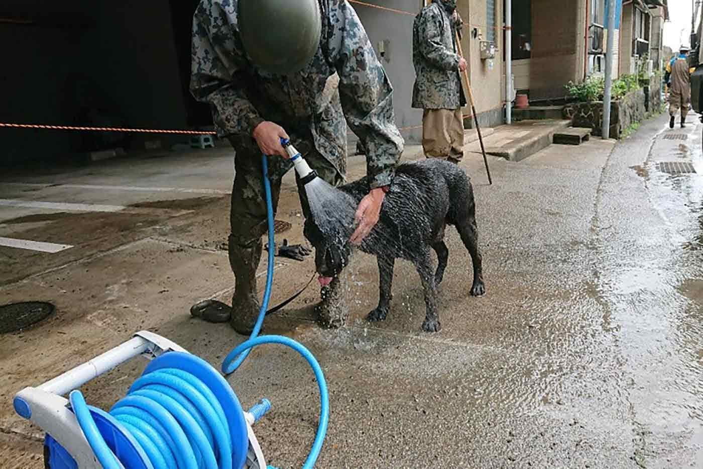 水を浴びて体の泥を落とす災害救助犬(レスキュードッグ)