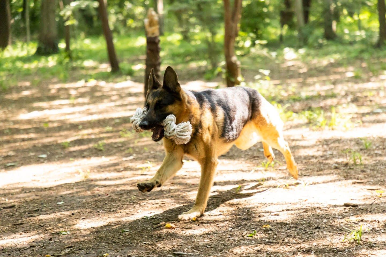 かじりんボーンで遊ぶジャーマン・シェパードの警察犬パクくん
