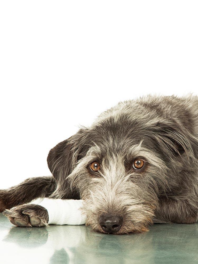 犬にかさぶたができる原因は?考えられる病気と病院へ行くべき症状を解説【獣医師監修】