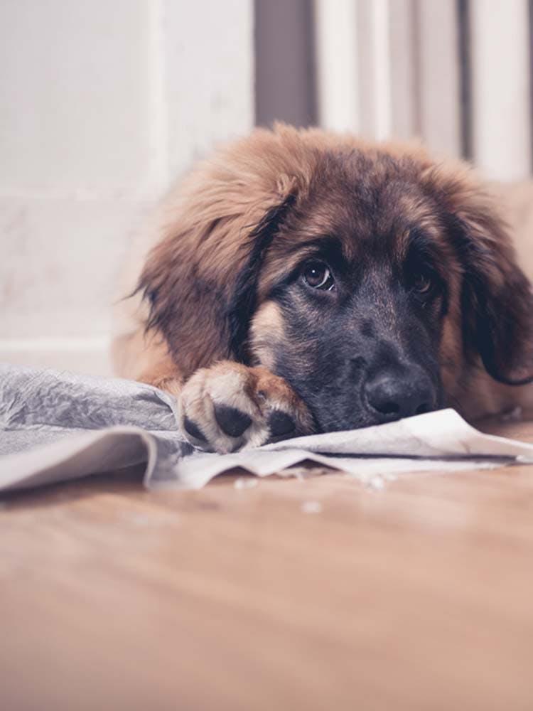 犬がトイレシートを食べる原因は?危険性と対処法、やめさせる方法を解説【獣医師監修】