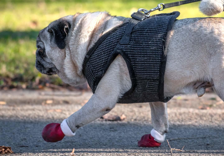 靴を履いて散歩する犬