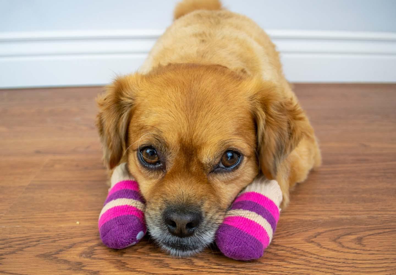 靴下を履いた犬