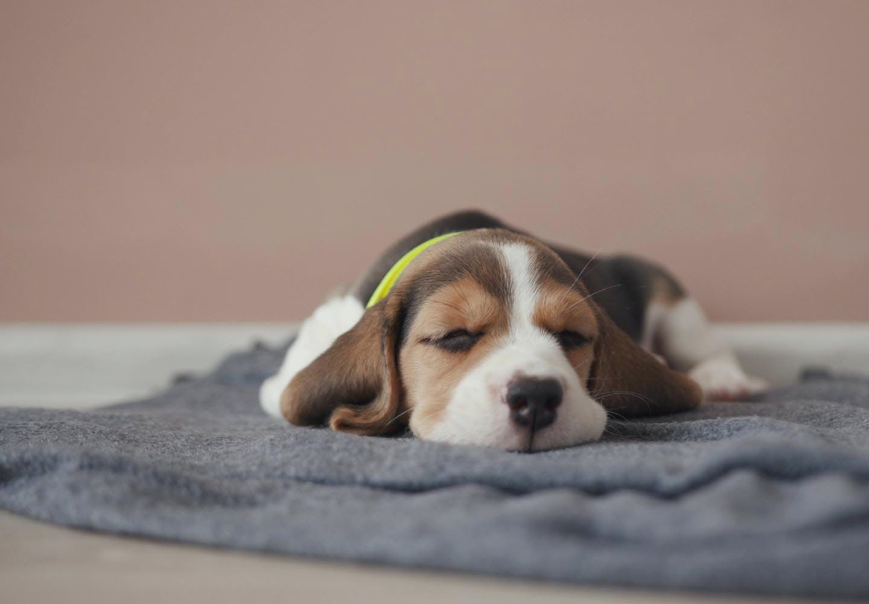 犬の吐血の原因は?考えられる病気と正しい対処法について解説【獣医師監修】