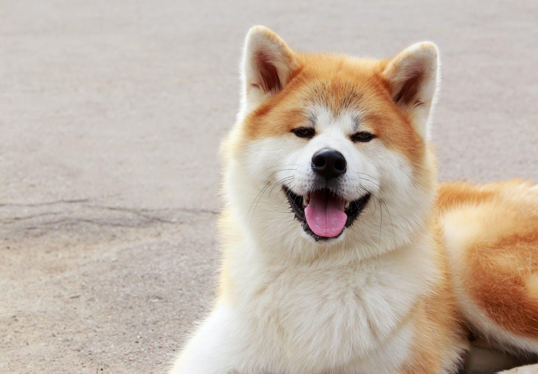 秋田犬はどんな犬?秋田犬の毛色の種類や特徴は?