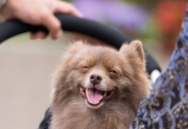 笑っている小型犬