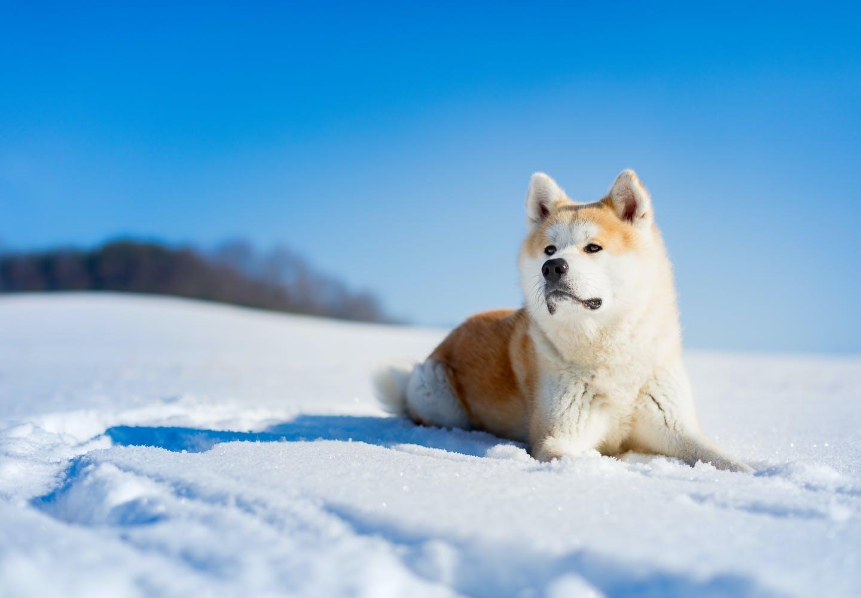 秋田犬はどんな犬?秋田犬の歴史やルーツは?