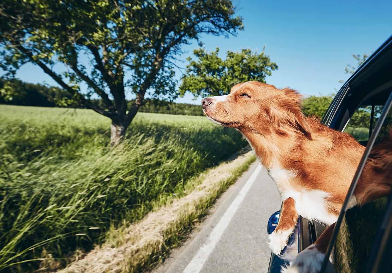 車の助手席から顔を出す犬
