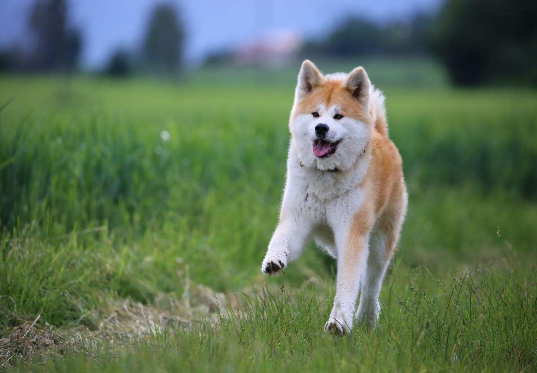 秋田犬はどんな犬?秋田犬を飼う上で気をつけることは?