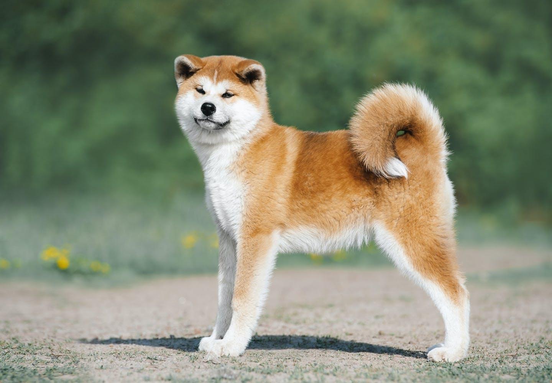 秋田犬はどんな犬?秋田犬はどんな性格?