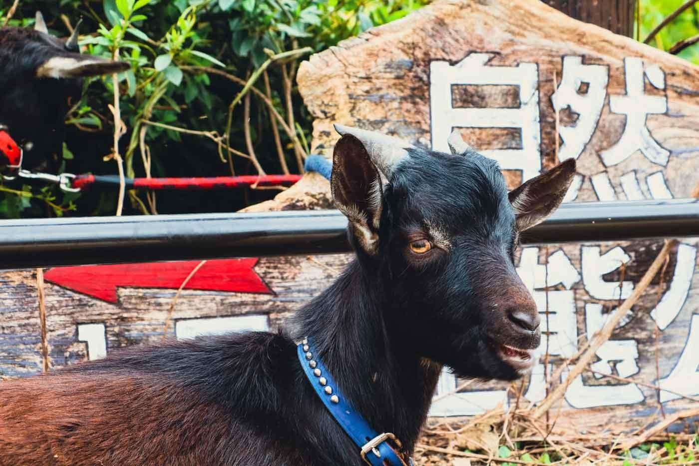 広島ドッググランピング 温井ダムリゾートで楽しめるヤギふれあい体験
