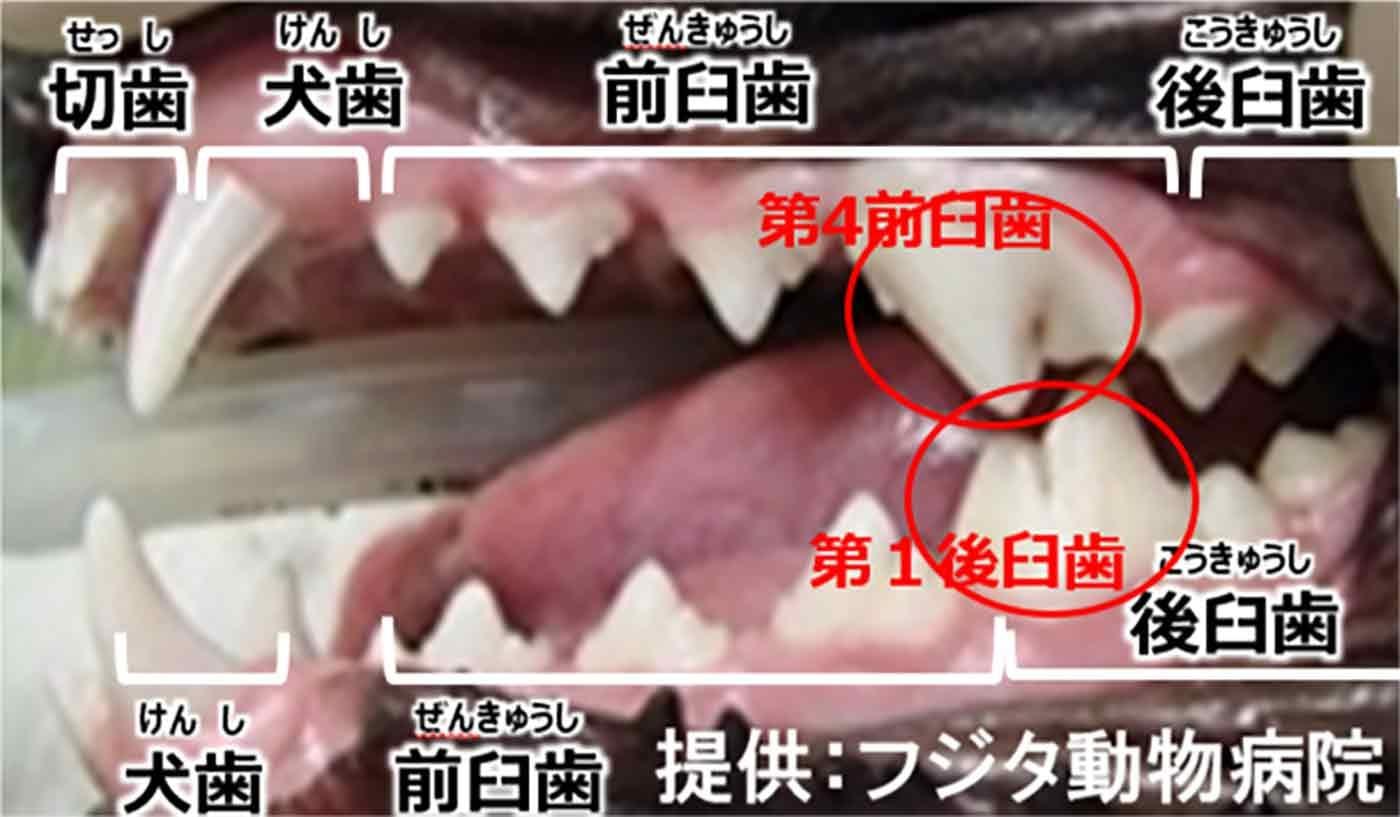 犬の歯の図
