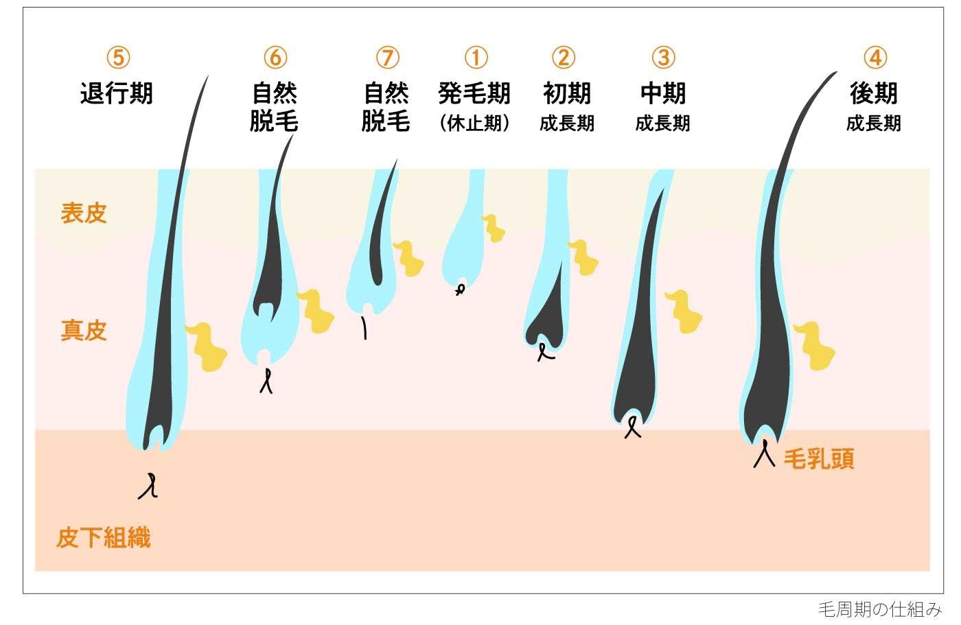 犬の毛周期