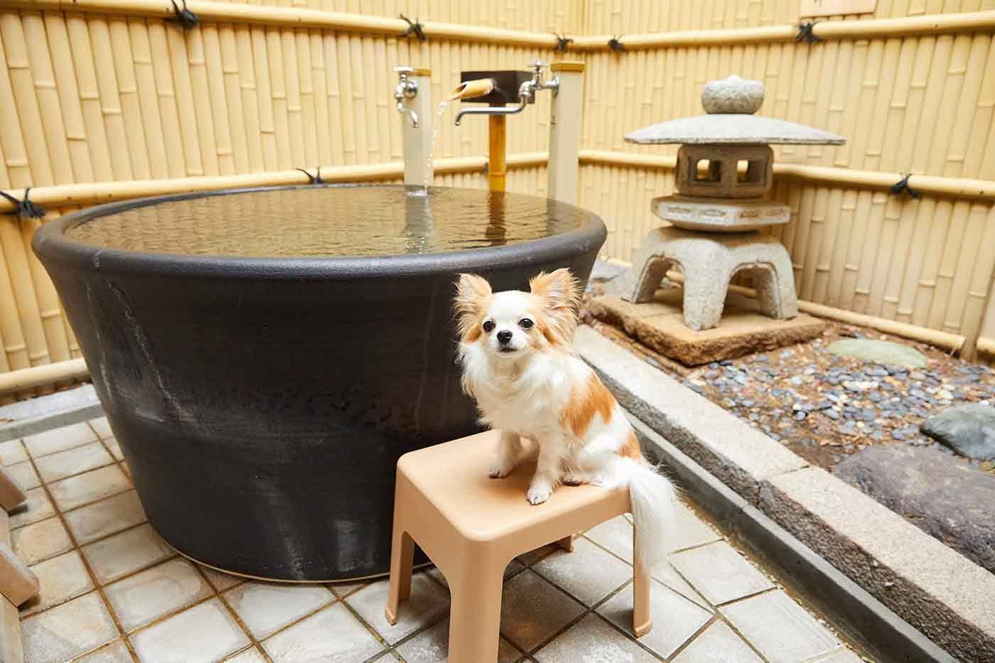 貸切風呂にいるチワワのこひめちゃん